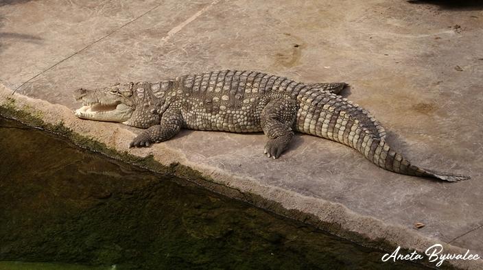Jak krokodyle radzą sobie z upałem?