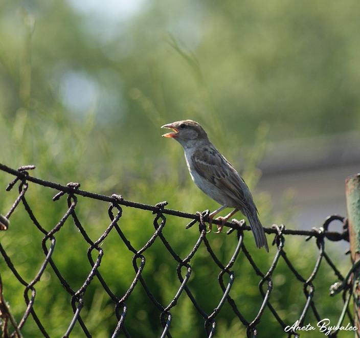 Jak ptaki radzą sobie z upałem?