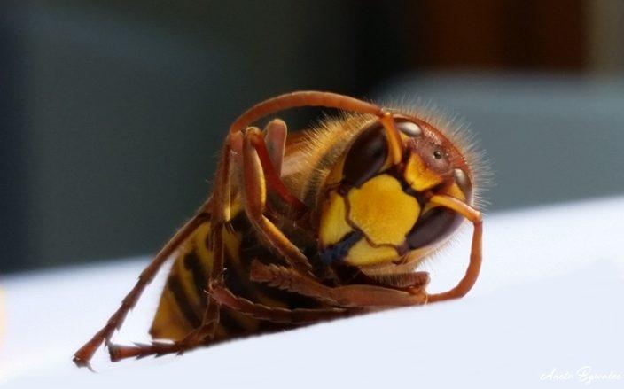 szerszeń - samica