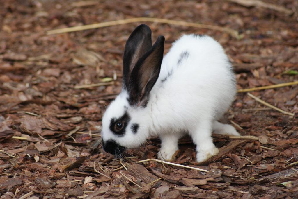 królik ozdobny
