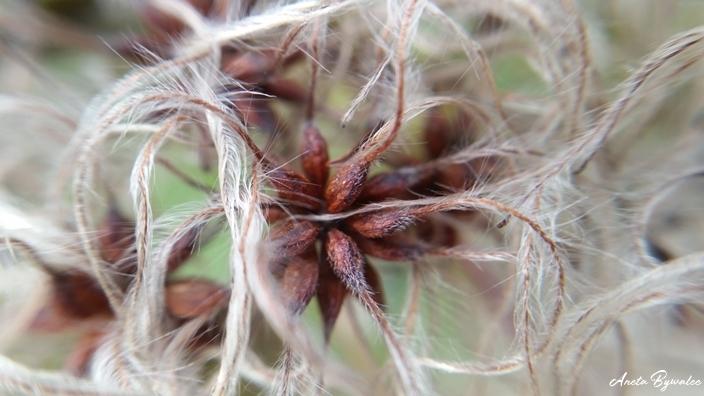 Fotografowanie przyrody zimą - powojnik pnący