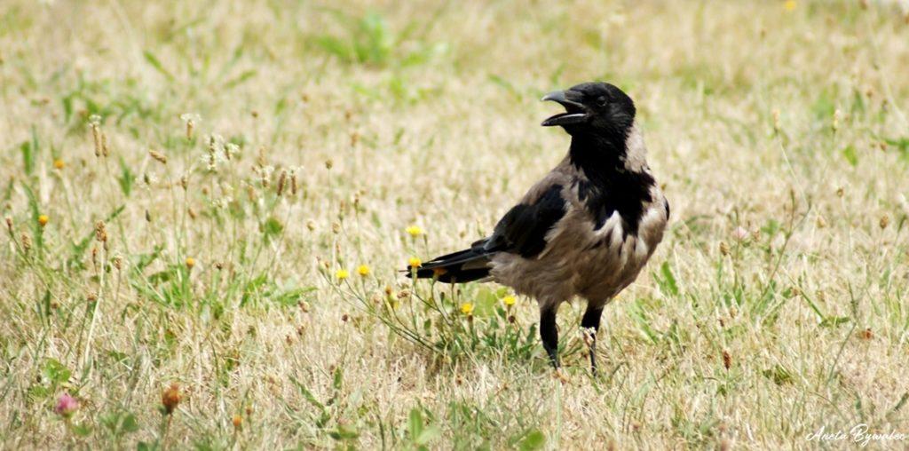 krukowate w Polsce - wrona siwa