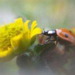 biedronka przy żółtym kwiecie