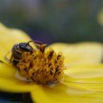 pszczoła na żółtym kwiecie