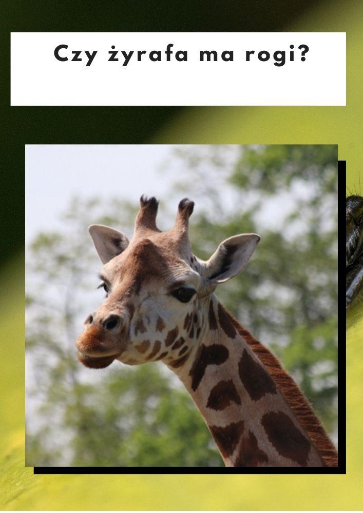 Czy żyrafa ma rogi?