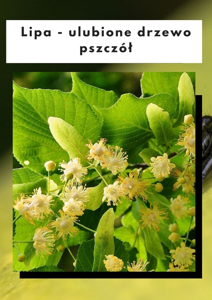 Lipa-ulubione drzewo pszczół