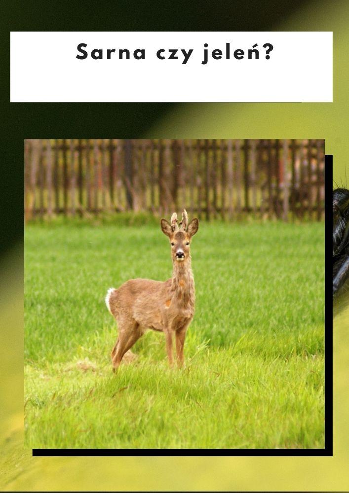 Sarna czy jeleń?