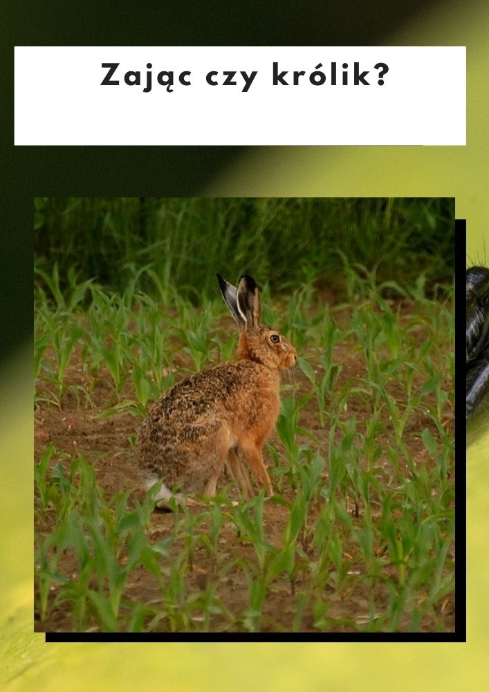 Zając czy królik?